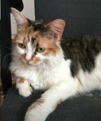 cat lost Mascouche