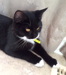 Black And White Cat Found In St Zotique Petluck Ca